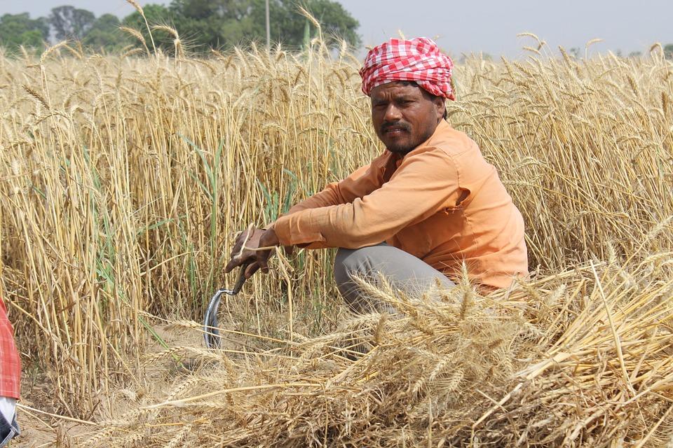 Frumento, India: le importazioni rimarranno elevate