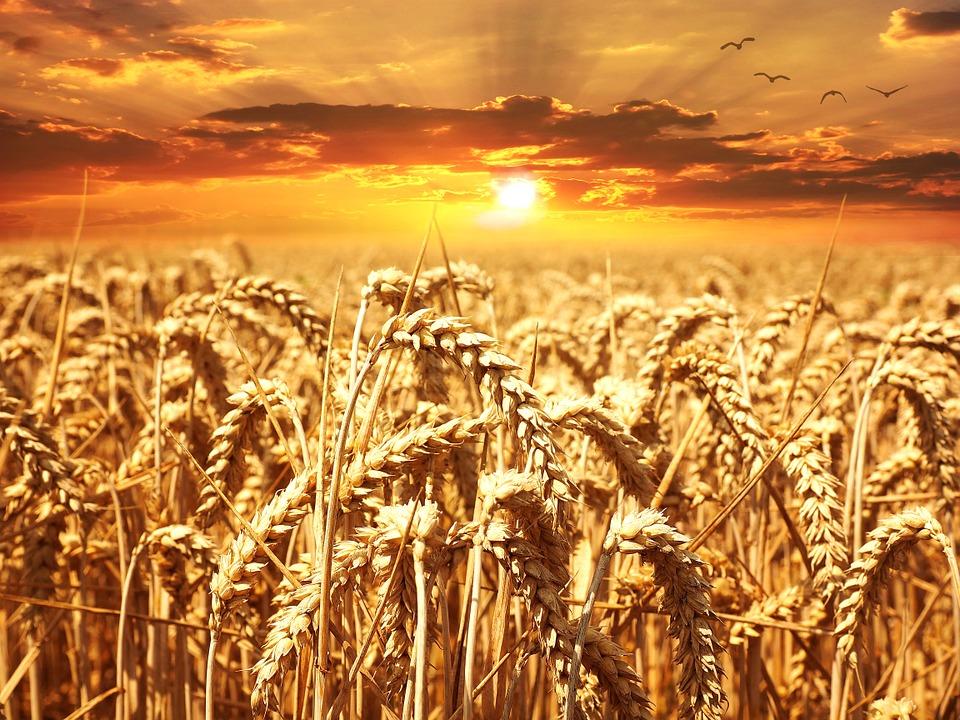 Frumento, UE: buone le condizioni dei raccolti