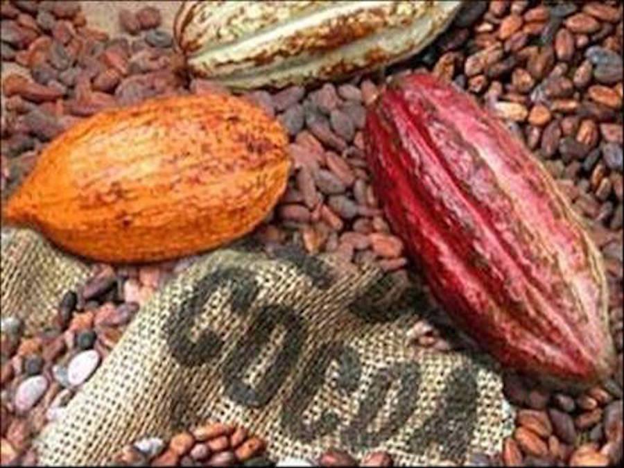Cacao, Olam: in Costa d'Avorio produzione in forte calo