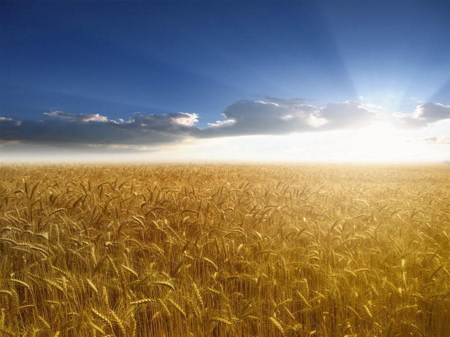 Frumento, USA: peggiorano le condizioni del prodotto invernale