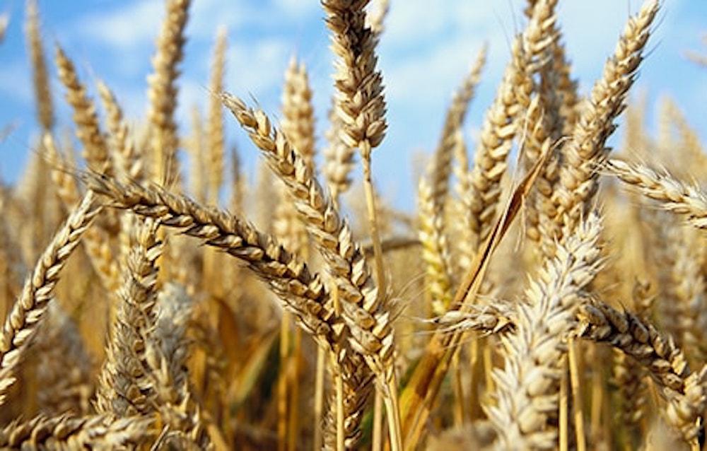 Trading: SocGen prevede un ribasso dei prezzi del Frumento