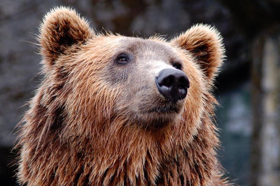 Oro: l'Orso è ancora tra noi, ed è qui per restare…