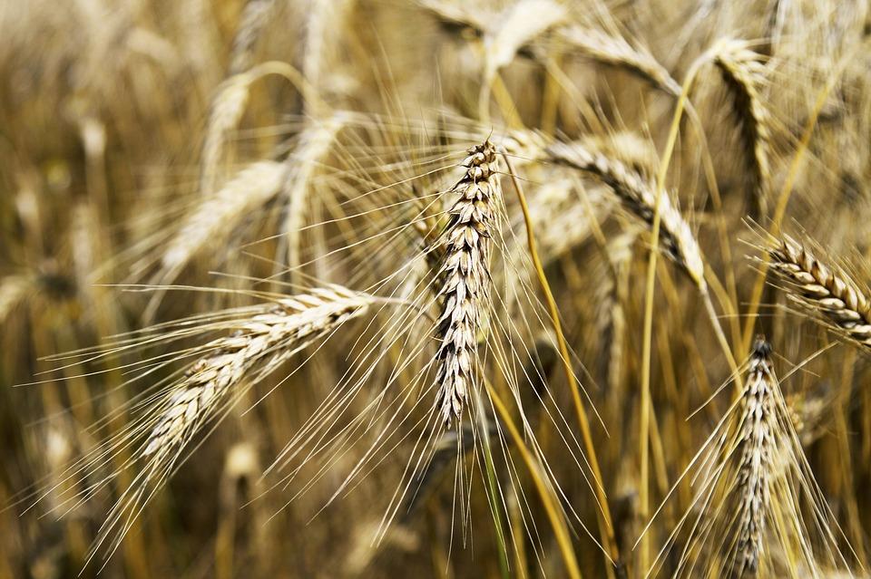 Frumento superstar: la siccità guida i prezzi