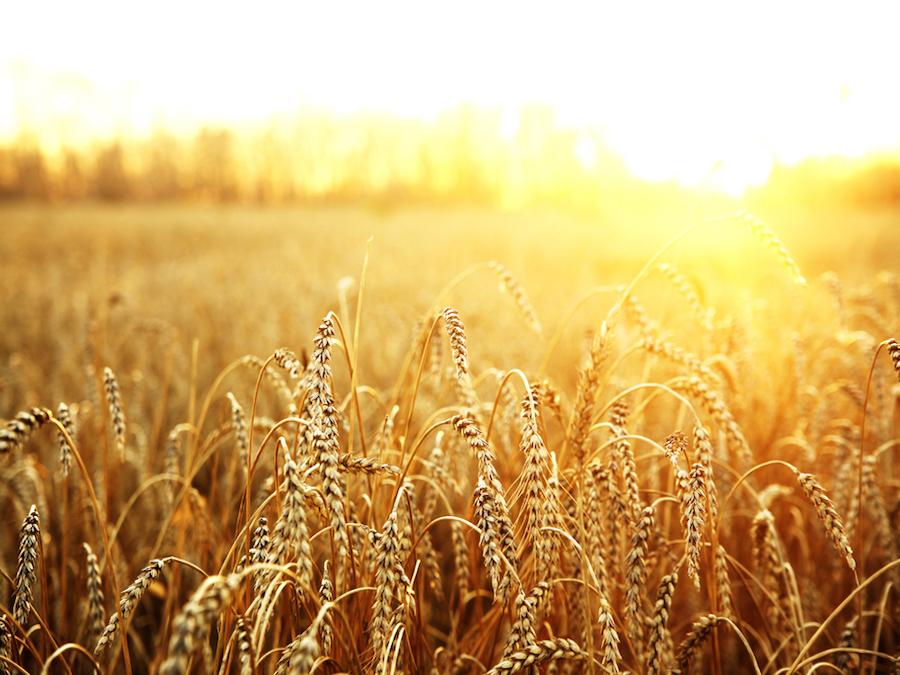 Frumento: l'Algeria rifiuta il grano dell'Argentina.  Aumentano i prezzi a Parigi