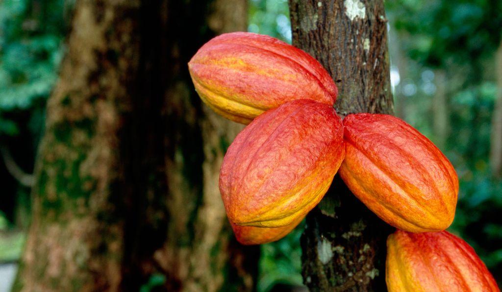 Cacao: i prezzi termineranno l'anno in aumento