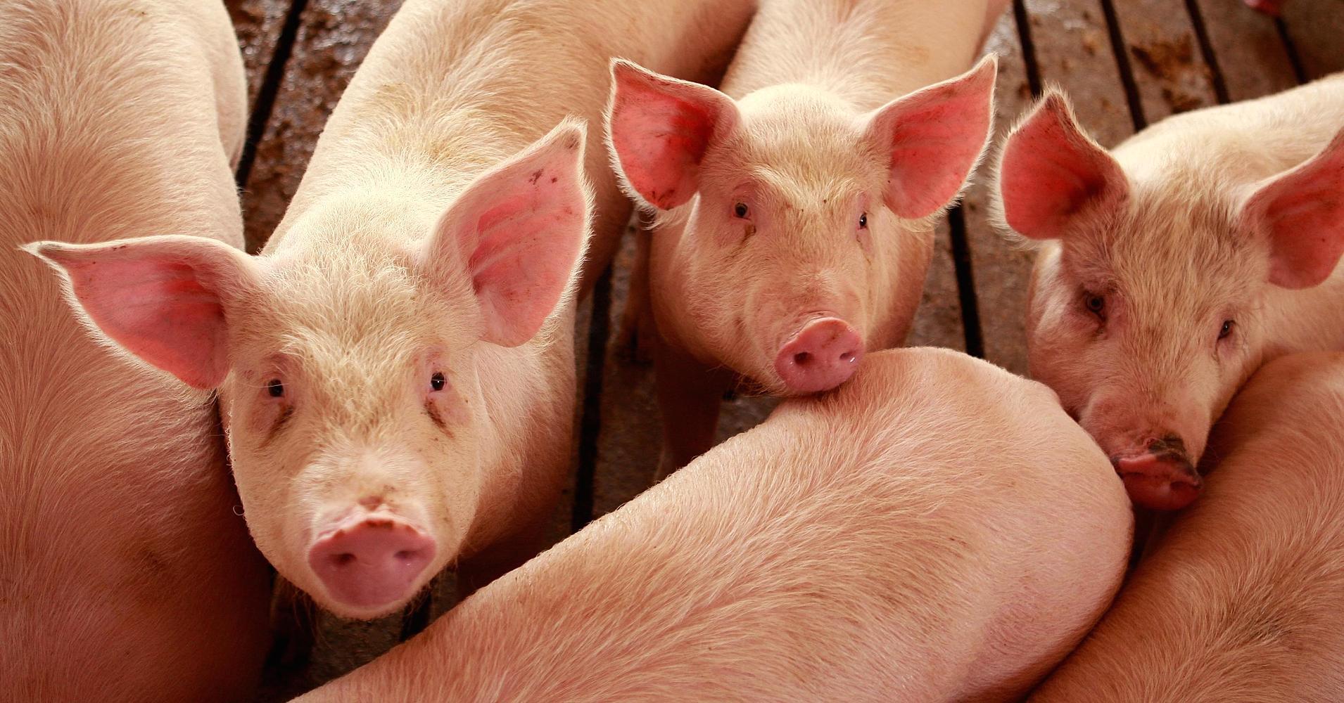 Lean Hogs: i prezzi esplodono!
