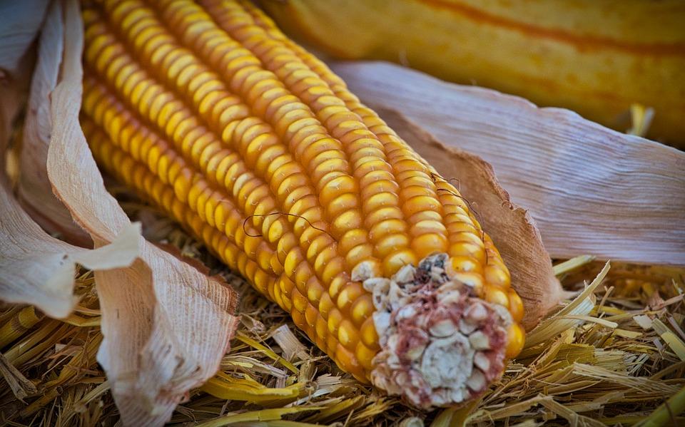 Speciale Mais: i prezzi potrebbero crollare!
