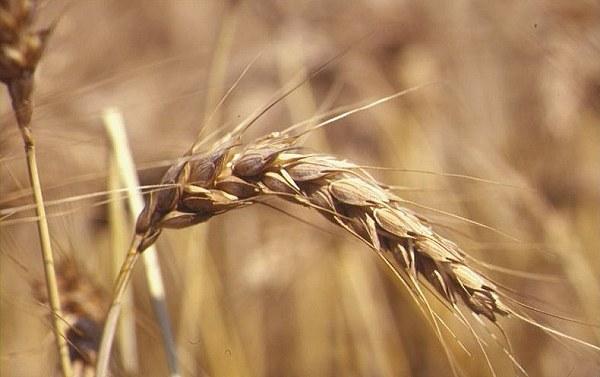 Frumento: la siccità cambia il mercato