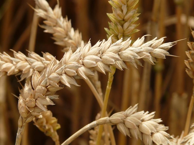 Speciale Frumento: perché i prezzi stanno schizzando alle stelle